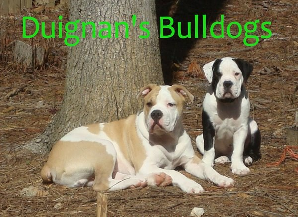 Duignan's Altman White English Bulldogs